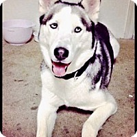Adopt A Pet :: Malaki- Adoption pending! - Monument, CO