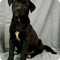 Adopt A Pet :: Lacy - Champaign, IL