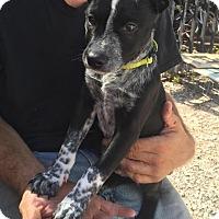 Adopt A Pet :: Jaxx - Charlotte, NC