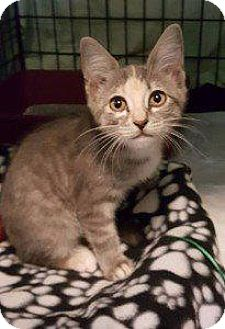 Domestic Shorthair Kitten for adoption in Freeport, New York - Alice