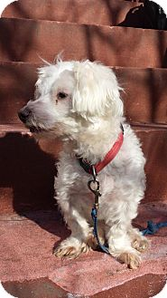 Maltese Dog for adoption in Brooklyn, New York - Lucky