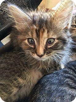 Domestic Mediumhair Kitten for adoption in Middleton, Wisconsin - Munchkin