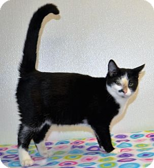 Domestic Shorthair Kitten for adoption in DuQuoin, Illinois - Bing Clawsby