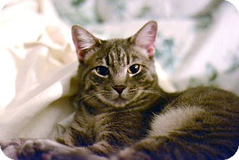 Domestic Shorthair Kitten for adoption in West Palm Beach, Florida - Suri