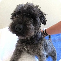 Adopt A Pet :: Carlyle - Rancho Santa Fe, CA