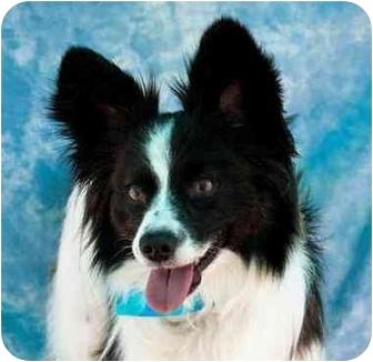 Papillon/Sheltie, Shetland Sheepdog Mix Dog for adoption in Mesa, Arizona - Bandit
