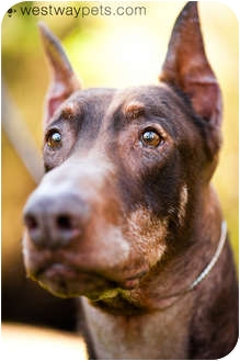 Doberman Pinscher Dog for adoption in Santee, California - Harry