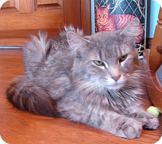 Domestic Mediumhair Cat for adoption in Florence, Kentucky - Lizzie
