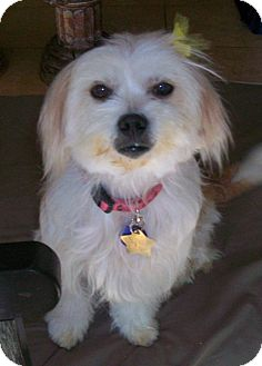 Havanese/Maltese Mix Dog for adoption in Studio City, California - Bridget Bardo