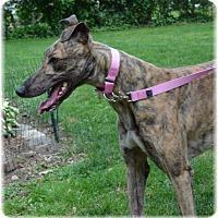 Adopt A Pet :: Calie - Harrisburg, PA