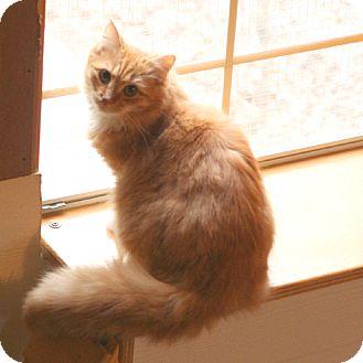 Domestic Longhair Cat for adoption in McCormick, South Carolina - Caleb