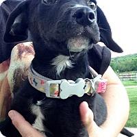 Adopt A Pet :: Dash - Joliet, IL