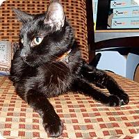 Adopt A Pet :: Jynx - St. Charles, MO