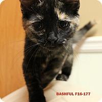 Adopt A Pet :: Bashful - Tiffin, OH