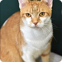 Domestic Shorthair Cat for adoption in Madison, New Jersey - Juno