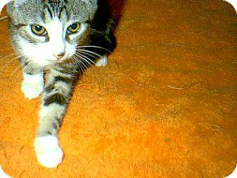 American Shorthair Kitten for adoption in Winchendon, Massachusetts - Zane