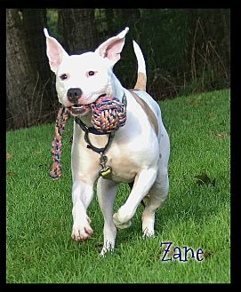 Pit Bull Terrier Dog for adoption in Shippenville, Pennsylvania - Zane