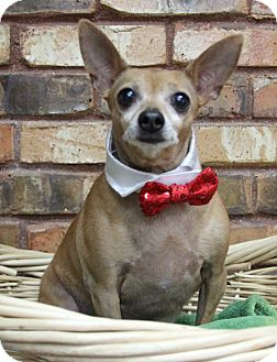 Chihuahua Dog for adoption in Benbrook, Texas - Buster