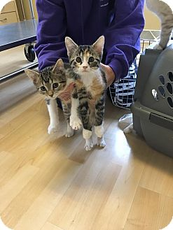 Domestic Shorthair Kitten for adoption in Romeoville, Illinois - Tiffany