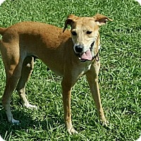 Greyhound Mix Dog for adoption in Hammond, Louisiana - Sandy