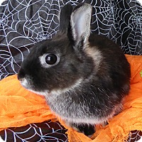 Netherland Dwarf Mix for adoption in Alexandria, Virginia - Ellen