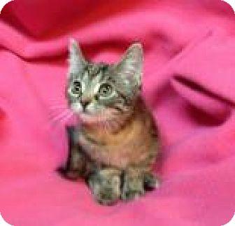 Domestic Shorthair Kitten for adoption in Newport, Kentucky - Cinnamon Spice