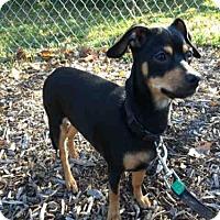 Chihuahua/Rat Terrier Mix Dog for adoption in Urbana, Illinois - KAIRI
