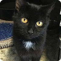Domestic Shorthair Cat for adoption in Loogootee, Indiana - Flossy