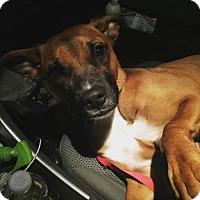 Adopt A Pet :: Red - Wichita, KS