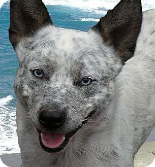 Adopted dog ranch dog sacramento ca australian cattle dog