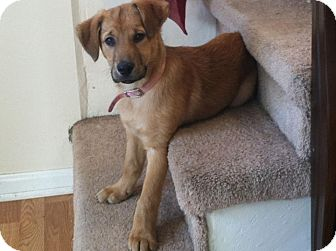 Labrador Retriever Mix Puppy for adoption in Morgantown, West Virginia - Nutella