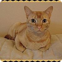 Adopt A Pet :: Marigold - Fenton, MO