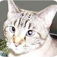 Adopt A Pet :: Kahini - Dallas, TX