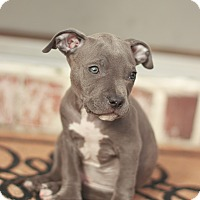 Adopt A Pet :: Blue - Reisterstown, MD