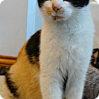 Adopt A Pet :: Calico Kate-Big Bang Bunch - Florence, KY