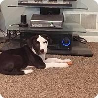 Adopt A Pet :: Bullet - Eastpointe, MI
