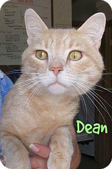 Domestic Shorthair Cat for adoption in Menomonie, Wisconsin - Dean