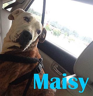 American Bulldog/Labrador Retriever Mix Dog for adoption in Orangeburg, South Carolina - Maisy