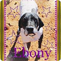 Adopt A Pet :: EBONY - Easy Going! - Chandler, AZ