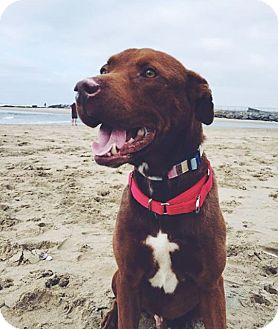 Labrador Retriever Mix Dog for adoption in Newport Beach, California - Emerson