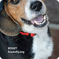 Adopt A Pet :: Bogey - Willingboro, NJ