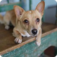 Adopt A Pet :: Diego - San Antonio, TX