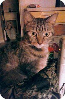 Domestic Shorthair Cat for adoption in Harrisonburg, Virginia - Precious