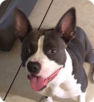 American Staffordshire Terrier/American Bulldog Mix Dog for adoption in Miami, Florida - Maggie