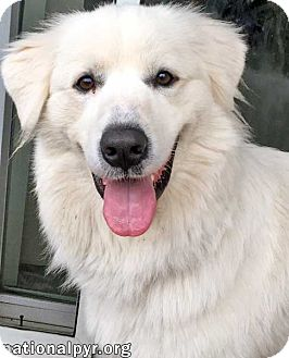 Great Pyrenees Dog for adoption in Beacon, New York - Angel in CT