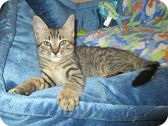 Domestic Shorthair Kitten for adoption in Mebane, North Carolina - Piper