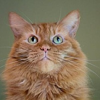 Domestic Mediumhair Cat for adoption in Asheville, North Carolina - Orangey