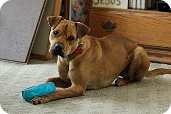 Boxer/Labrador Retriever Mix Dog for adoption in Grafton, Wisconsin - Tim