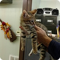 Domestic Shorthair Cat for adoption in Mt. Vernon, Illinois - Tiger