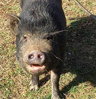 Pig (Potbellied) for adoption in Gallatin, Tennessee - Penelope